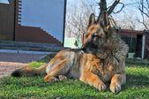 German shepherd — Stock Photo