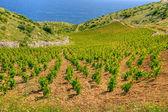 Vineyards, southern coast of Hvar island, west of Sveta Nedjelja, Croatia — Stock Photo