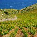Vineyards, southern coast of Hvar island, west of Sveta Nedjelja, Croatia — Stock Photo #14854681