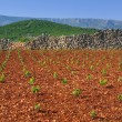New vineyards, north of Hvar island, Croatia — Stock Photo