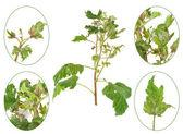 Infection de cassis par la pourriture grise, botrytis cinerea, botryotinia fuckeliana — Photo