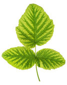 Iron deficiency in raspberry leaf, chlorosis, isolated — Stock Photo