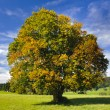 Single beech tree — Stock Photo