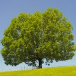 Ash tree — Stock Photo