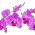 Постер, плакат: Orchid