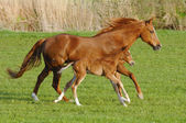 Mare horse in gallop with its foal — Stock Photo