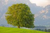 Pojedynczy bukiem w okresie wiosennym — Zdjęcie stockowe