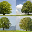 Linden, beech and oak tree — Stock Photo