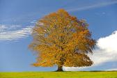 Tek büyük kayın ağacı — Stok fotoğraf