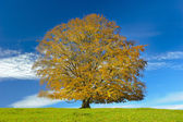 Single big beech tree — Foto Stock
