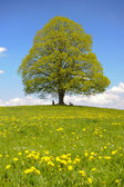 Single linden tree at spring — Stock Photo