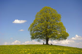 Single big linden tree — Stock Photo