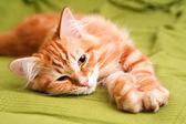 Jonge siberische kat — Stockfoto