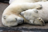 White bears in zoo in Moscow — Stock fotografie