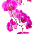 Stock Photo: Pink flowers orchid