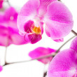 Pink flowers orchid — Stock Photo