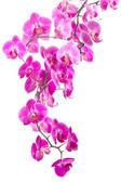 Růžové květy orchidejí — Stock fotografie