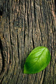 Green leaf of basil on grungy wooden background — Photo