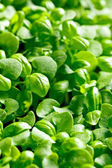 Small plants of basil — Stock Photo