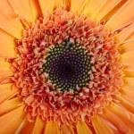 Macro photo of gerber flower. Hight res — Stock Photo #22890652