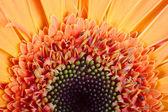 Macro photo of gerber flower. Hight res — 图库照片