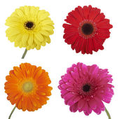 Set of Gerbera flowers. Hight res. Isolated on white — Stock Photo