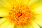 Macro photo of gerber flower. — Stock Photo