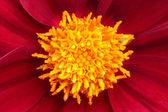 Macro photo of gerber flower. — Stock Photo