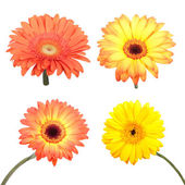Set of Gerbera flower. Hight res. All in focus  — Stock Photo