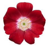 Bell flower. Vector illustration. Isolated on white — Stock vektor