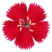 Red wildflower. Photo realistic vector illustration. Isolated on — Stock Vector