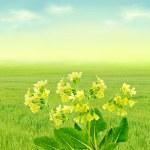 Primroses on spring meadow — Stock Photo