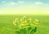 Gullvivor på våren äng — Stockfoto