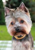 Yorkshire Terrier — Stock Photo