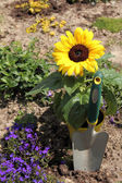 Newly planted sunflowers — Stock Photo