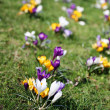 Spring holiday crocus flowers on grass - Stock Photo