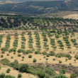 Crete,  Greece, Olive trees, plantation — Stock Photo