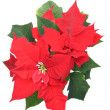 Poinsettia (Bethlehem Star) flower — Stock Photo #7884034