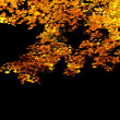 Stock Photo: Autumn maple leaves on black background