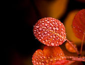 Red leaves with drops,autumn in the nature — Stock Photo