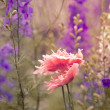 Stock Photo: Delfinium flowers with poppy