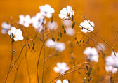 Flax flowers on the field — Stock Photo