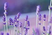 Lavender field with purple filter — Stock Photo