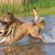 Stock Photo: Dogs dabble in lake