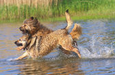 The dogs dabble in the lake — Stock Photo