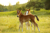 Foals on the field — Stock Photo