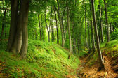 Green forest with old trees — Stock Photo
