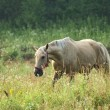 Grey horse on the field — Stock Photo