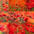 Red poppies — Stock Photo #33389591