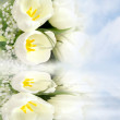 White tulips on white background — Stock Photo